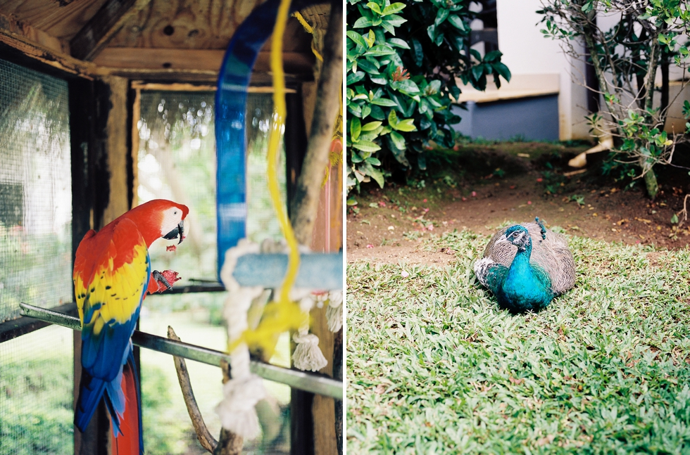parrot and peacock birds